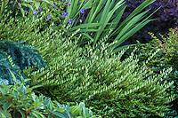 Lonicera pileata, box-leaved honeysuckle or privet honeysuckle, low growing evergreen goundcover shrub; Seattle Washington, Stacie Crooks design