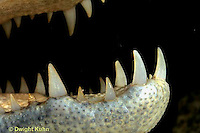 1R16-007a  Spectacled Caiman - teeth - Caiman crocodilus