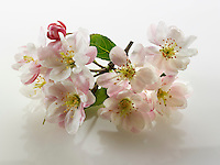 Stock Photos of close up of apple blossom on a white background. Funky stock photos library.