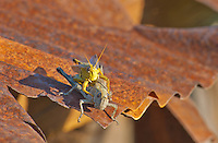 Grasshoppers couple on the edge of the rusty metal corregated roof of an old barn in Will County, Illinois