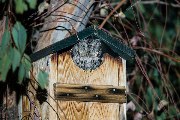Western Screech Owl (Megascops kennicottii), Adult at Nest Box (Arizona)
