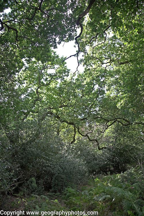 Ancient oak trees Staverton forest, Suffolk, England