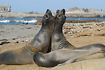 Elephant seal bull juveniles play at Ano Nuevo State Park