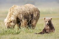 BooBoo, Lady Hook's cub. Kodiak grizzly bear (Ursus arctos middendorffi), Hallo Bay