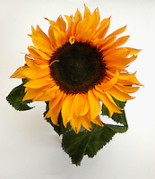 Girasole. Sunflower...