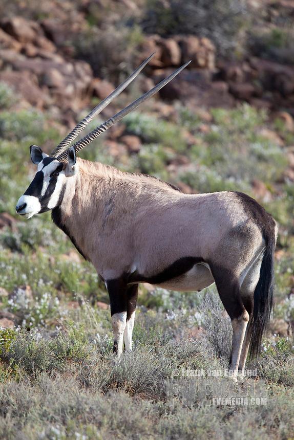 Gemsbok, Karoo National Park.