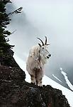 Mountain goat, Washington, USA