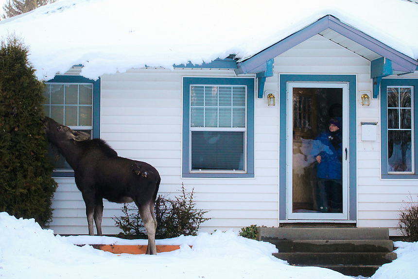 Donna Johnson finds a moose eating shrubbery outside her home in Sandpoint, ID on Wednesday, January 25.