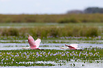 Roseate Spoonbills flying over the Ibera Marshes, Corrientes, Argentina.