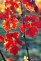 Grape leaf in fall color.