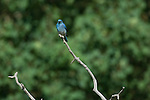 Mountain bluebird, Sialia currucoides, male, perched, aspen snag, branch, summer, June, morning, wildlife, nature, Beaver Meadows, Rocky Mountain National Park, Colorado, USA