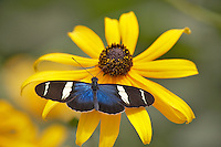 Small Blue Grecian (Heleconius sara) on Black Eyed Susan flower. Portland Oregon Zoo