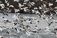 00754-02606 Snow Geese (Anser caerulescens) landing on lake Marion Co. IL