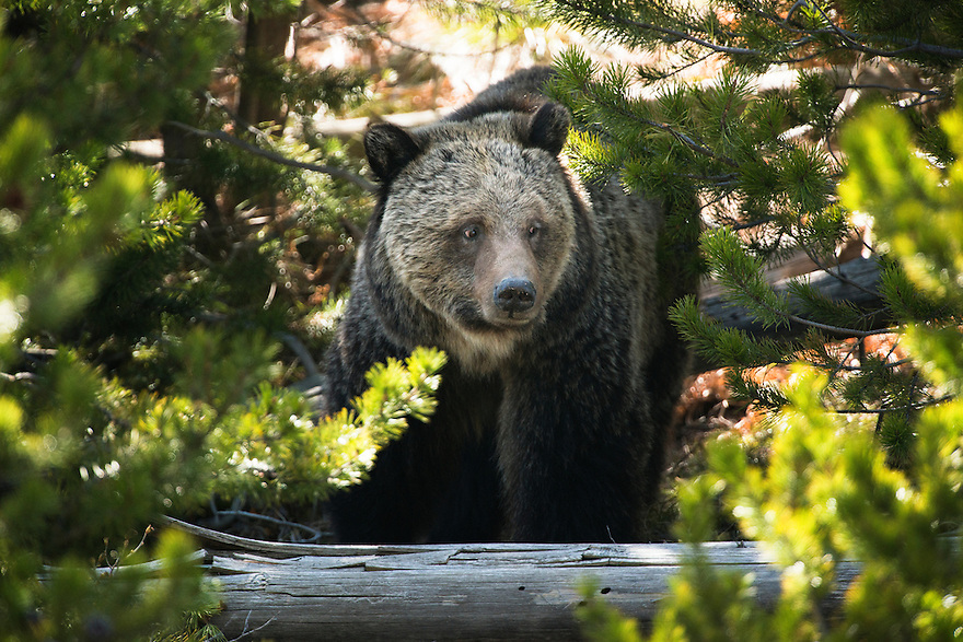 A grizzly bear walks through the forest near the Gibbon River in Yellowstone National Park.