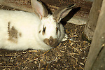 Speckled Giant, Domestic rabbit