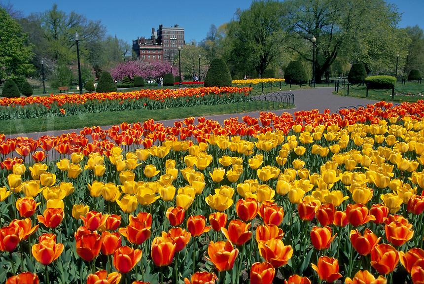 Tulips in the Public Garden. Boston, Massachusetts.