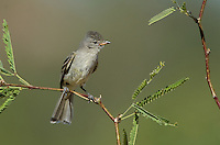 584750008 a wild northern beardless tyrannulet camptostoma imberbe perches on a mesquite branch in the madera grasslands green valley arizona united states