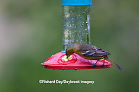 01618-01117 Orchard Oriole (Icterus spurius) female on hummingbird nectar feeder,  Marion Co., IL