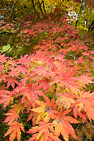 maple, Arnold Arboretum, autumn, Boston, MA