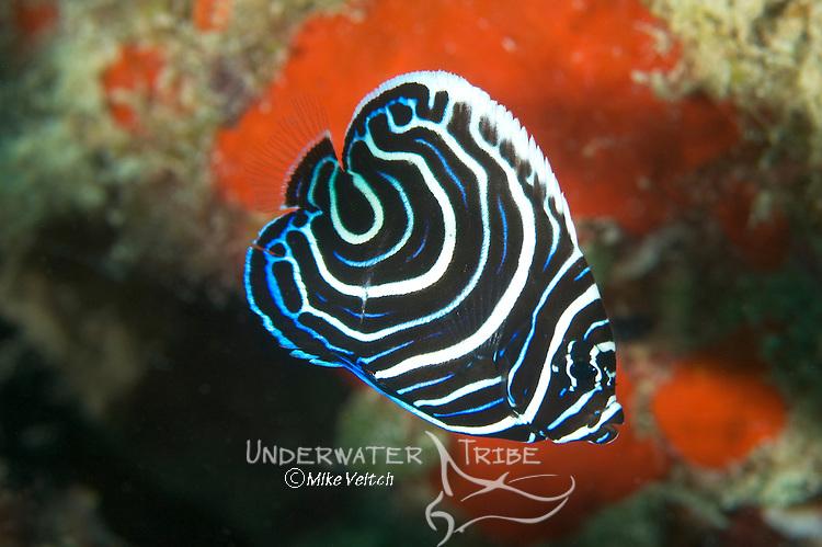 Juvenile Emperor Angel Fish, Pomacanthus imperator, Yap, Micronesia, Pacific Ocean