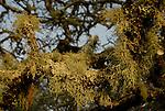 Beard lichen in Forestville