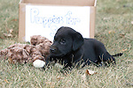 "Black Labrador retriever playing next to a ""Puppies for Sale"" box"