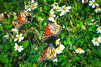 Monarch Butterflies enjoying a last meal before heading across the Gulf of Mexico for Central America. These were seen along the coast in the thousands at the St. Marks National Wildlife Refuge in Jefferson County.