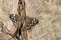 Wald-Brettspiel, Waldbrettspiel, Brettspiel, Laubfalter, Pararge aegeria, speckled wood, Le Tircis