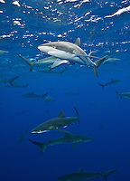 RM0915-D. Silky Sharks (Carcharhinus falciformis), dozens gathered together to feed on small fish in baitball (out of frame). Baja, Mexico, Pacific Ocean.<br /> Photo Copyright &copy; Brandon Cole. All rights reserved worldwide.  www.brandoncole.com