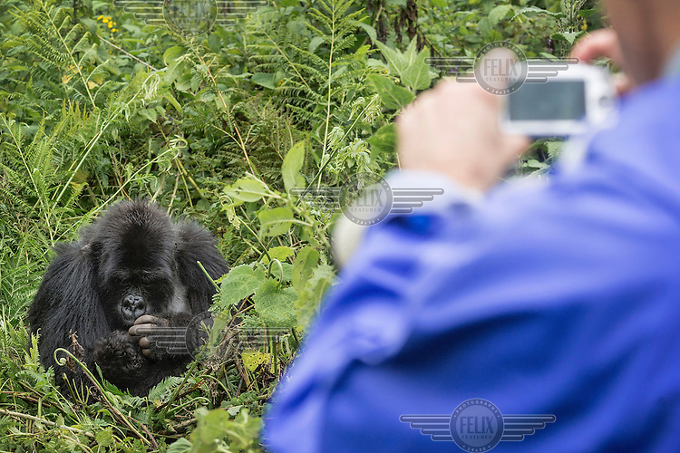 A tourist photographs a gorilla in Volcanoes National Park previously known as Ruhengeri.