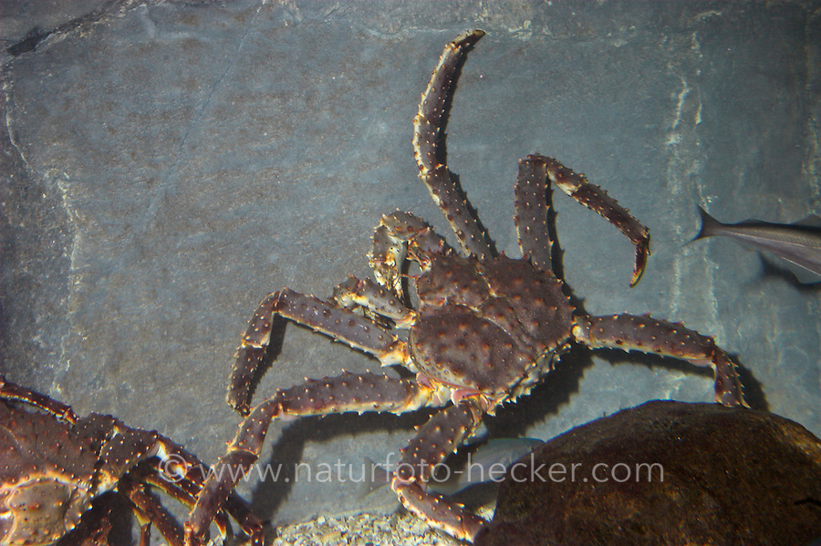 Königskrabbe, Kamtschatkakrabbe, Kronenkrebs, Kamschatkakrebs, Alaska-Königskrabbe, Königs-Krabbe, Kamtschatka-Krabbe, Paralithodes camtschaticus, red king crab, Alaskan king crab, Alaskan king stone crab, Japanese crab, Kamchatka crab, Russian crab