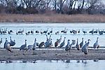 Sand Hill Cranes, Rowe Audubon Sanctuary,Nebraska