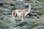 Guanaco (Lama guanicoe) running, Torres del Paine National Park, Patagonia, Chile