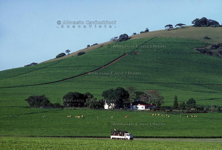 ZIMBABWE - Chipinge, piantagioni di te', raccolta.ZIMBABWE - Chipinge, Tea plantations, harvest..