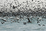 Seabirds on Monterey Bay
