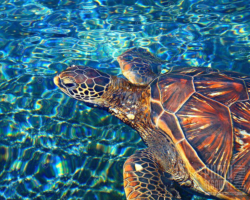 Hawaiian sea turtle (Honu), Maui, Hawaii.