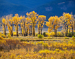 Yellowstone National Park, Wyoming:<br /> Golden colors of cottonwoods and willows in the Lamar Valley