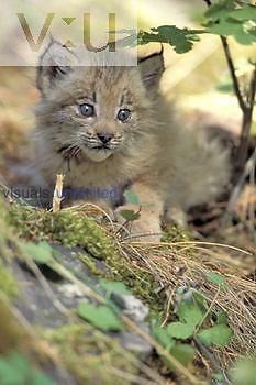 Lynx kitten ,Lynx canadensis,