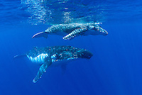 A mother Humpback Whale, Megaptera novaeangliae, keeps a watchful eye on her calf.  Tonga, South Pacific Ocean