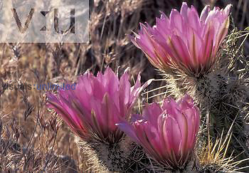 Hedgehog Cactus ,Echinocereus fasiculatus,, Southwestern North America.