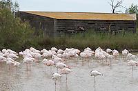 Vogelbeobachtung, Vogelbeobachtungshütte, Vogelbeobachtungs-Hütte, Vogelfotografie, Vogelbeobachtungshaus, Vogelversteck, Vogelbeobachter, Besucher beobachten Flamingo, Flamingos aus eine Beobachtungshütte, Camargue, Frankreich, Rosaflamingo, Rosa-Flamingo, Phoenicopterus roseus, Phoenicopterus ruber. Birdwatcher, Bird watcher, birdwatching, bird hide, birdhide, hide, blind, bird blind, greater flamingo, Camargue, France