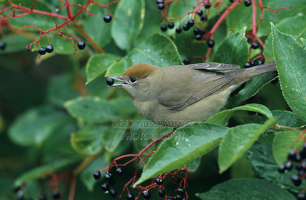 Blackcap, Sylvia atricapilla,female eating on Common Elderberry (Sambucus nigra), Oberaegeri, Switzerland, Europe
