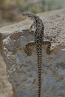437880011 a wild long-nosed leopard lizard gambelia wislizenii sits on a rock along fish slough road in mono county california