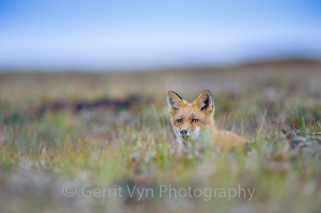 Red Fox (Vulpes vulpes). Yukon Delta National Wildlife Refuge, Alaska. September.