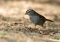 White-crowned Sparrow, Zonotrichia leucophrys, in the Riparian Preserve at Water Ranch, Gilbert, Arizona