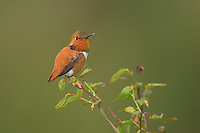 Rufous Hummingbird (Selasphorus rufus) displaying gorget while landing on top of holly bush.  Pacific Northwest.  Spring.