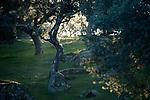 Holm Oak (Quercus ilex) trees in mediterranean forest at sunset, Sierra de Andujar Natural Park, Sierra de Andujar, Sierra Morena, Andalusia, Spain