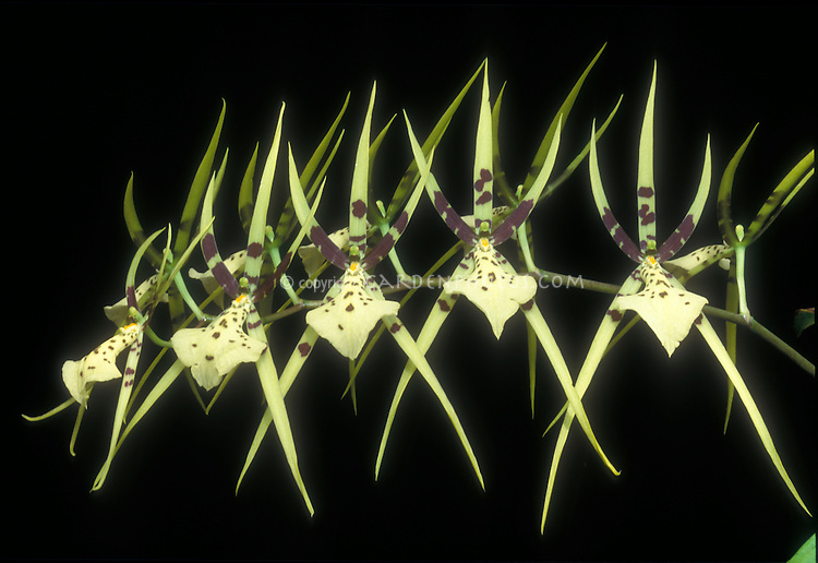 Brassia maculata 'Majus' Spider Orchid species. Pollinated by a parasitic female spider-hunter wasp, who tries to sting and paralyze it to bring home for food for her larvae.