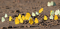 Sulphur butterflies often congregate along river banks in the Amazon.