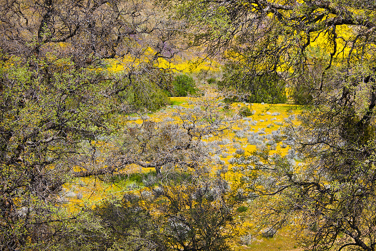 Oak trees frame a filed ablaze with Coreposis in spring. Santa Barbar County, CA.